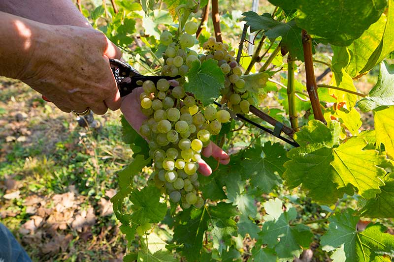 Vineyard / Cellar